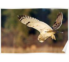 Diving Short-eared Owl Poster