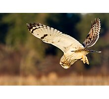 Diving Short-eared Owl Photographic Print