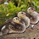 Ducklings in a Row? by Tom Talbott