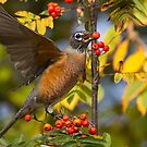 American Robin in Berries by Tom Talbott