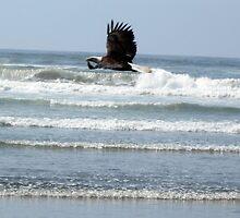 Bald Eagle by PeytonRyan