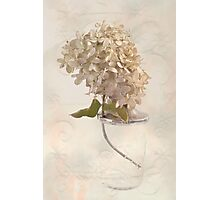 Hydrangea Softness Photographic Print
