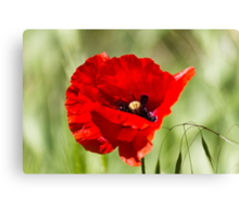 poppies in the field Canvas Print