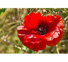 poppies in the field Photographic Print