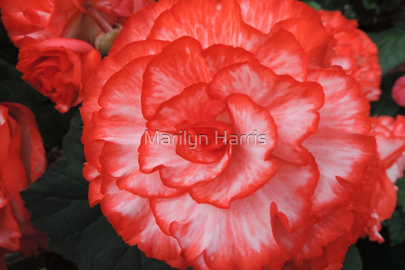 Frilly Red & White Begonia by Marilyn Harris