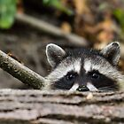Peering Raccoon by Tom Talbott