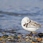 Grooming Sanderling by Tom Talbott