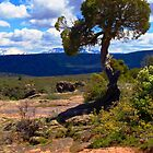 Pinion Pine at the Black Canyon by Roger Passman