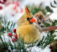 Snow Cardinal by Christina Rollo
