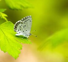 Spring Azure Butterfly by Christina Rollo