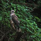 Hawk, Broad-Winged by virginian