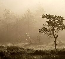 16.8.2014: Pine Tree, Summer Morning II by Petri Volanen