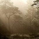 16.8.2014: Pine Trees, Summer Morning II by Petri Volanen