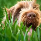 Italian Spinone ~ Brown Roan by heidiannemorris