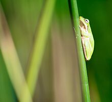 Green Frog by ADAMAS