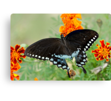 Swallowtail butterfly on marigolds Canvas Print