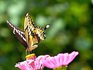 Giant Swallowtail by Susan S. Kline