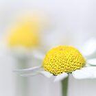 Matricaria (German chamomile) (3) by Bob Daalder
