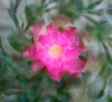 Pink Pinwheel by mrthink
