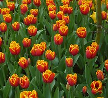 Orange Tulips by DonKootis