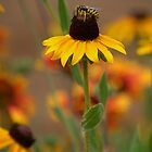Black Eyed Susan With Bee by Diana Graves Photography