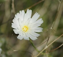 Calycoseris wrightii; White Tackstem; Along the Interstate 10 between Arizona & California by leih2008