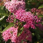 Pink Spirea  by Linda  Makiej Photography