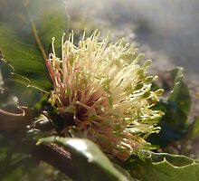 Banksia ilicifolia - Holly-leaved banksia by CLaceyNaturArts