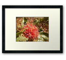 Banksia ilicifolia - Holly leaved Banksia in Red Framed Print