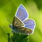 Common Blue Butterfly by MikeSquires