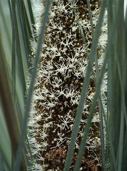 Xanthorrhoea Semiplana in Bloom by Ben Loveday