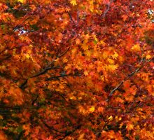 Autumn tones of a Japanese Maple #2 by Marilyn Harris