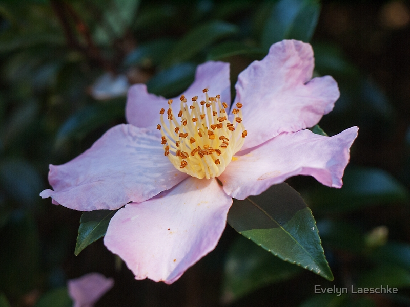 Camellia by Evelyn Laeschke