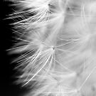 Dandelion #3 by axemangraphics