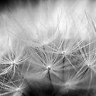 Dandelion #4 by axemangraphics