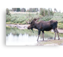 Thirsty moose a Thursday morning Canvas Print