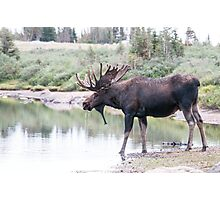 Thirsty moose a Thursday morning Photographic Print