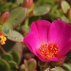 Portulaca - Moss Rose by Linda  Makiej