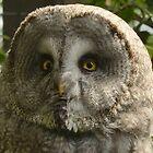 Great grey owl / Laplanduil by MaartenMR