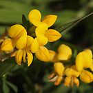 Birdsfoot Trefoil by Linda  Makiej