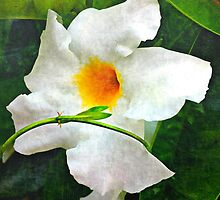 White Mandevilla II by Scott Mitchell