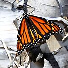 Monarch on Tree Bark by Poete100