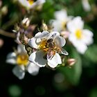 Busy Little Bee by Thomas Stayner