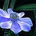 Anemone in Blue by cclaude