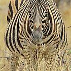 Zebra - African Wildlife - Laboring Pregnancy  by LivingWild