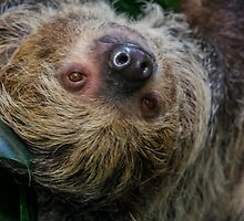 Two-toed Sloth by Darren Wilkes
