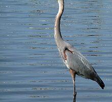 Great Blue Heron by Evelyn Laeschke