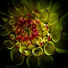 A dahlia for Bill by KSKphotography