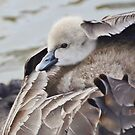 Cygnets travel in style by Georgie Hart