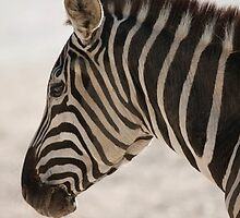 zebra at the zoo by spetenfia